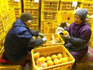 倉庫で柑橘の鮮度を保つための作業